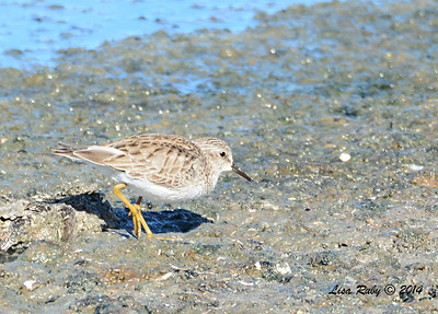 Least Sandpiper - 1/18/2014 - Salt Works