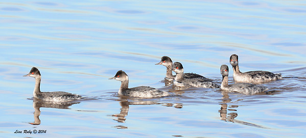 Eared Grebes - 1/18/2014 - Salt Works