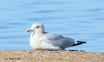 Herring Gull - 1/18/2014 - Salt Works