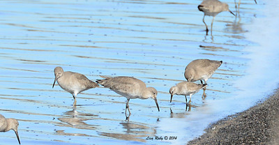Willets and Red Knot - 1/18/2014 - Salt Works