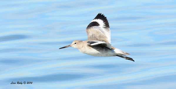Willet - 1/18/2014 - Salt Works