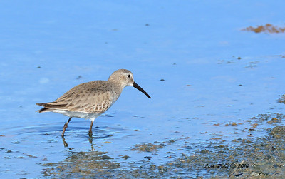 Dunlin - 1/18/2014 - Salt Works