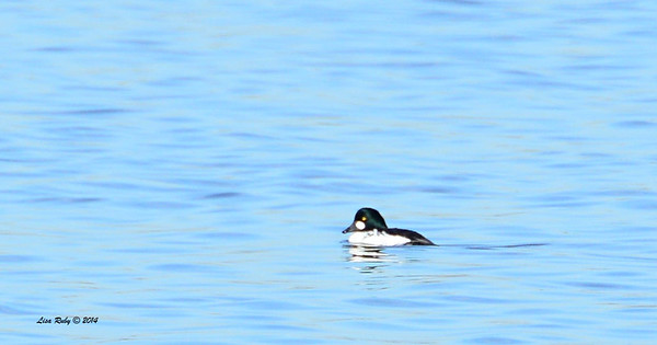 Common Goldeneye - 1/18/2014 - Salt Works