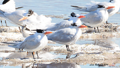 Royal Terns - 1/18 /2014 - Royal Terns