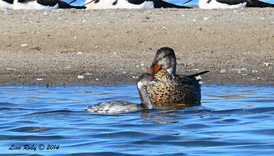 Earted Grebe and Northern Shoveler - 10/8/2014 - Salt Works