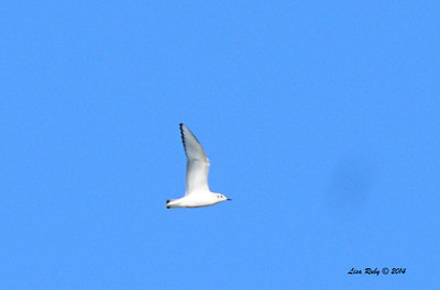 Bonaparte's Gull - 10/8/2014 - Salt Works