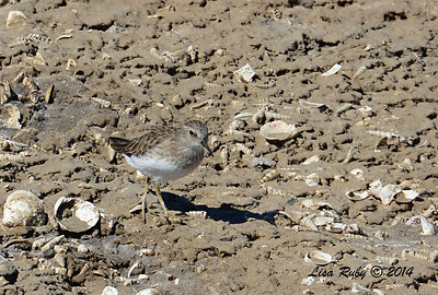Least Sandpiper - 10/8/2014 - Salt Works