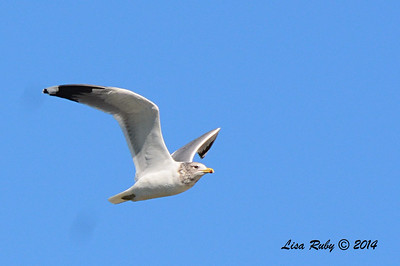 California Gull - 10/8/2014 - Salt Works