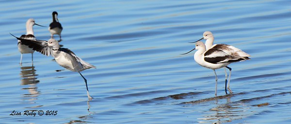 American Avocets - 1/17/2015 - Salt Works, Chula Vista