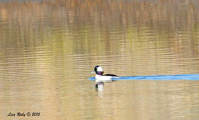 Bufflehead -  1/17/2015 - Salt Works, Chula Vista