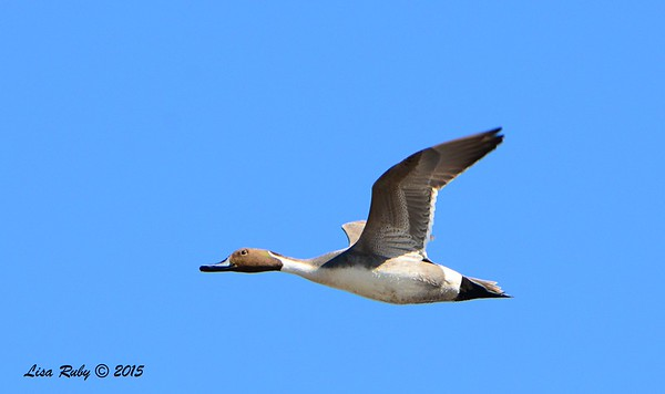 Northern Pintail - 1/17/2015 - Salt Works, Chula Vista