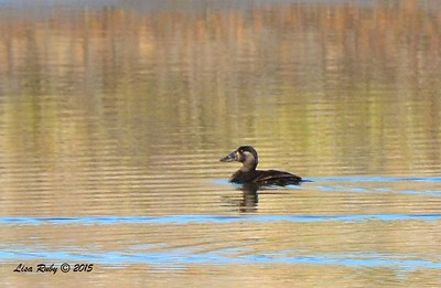 Female Surf Scoter -  1/17/2015 - Salt Works, Chula Vista