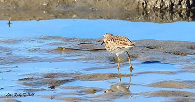 Least Sandpiper -  1/17/2015 - Salt Works, Chula Vista