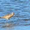Long-billed Curlew - 1/17/2015 - Salt Works, Chula Vista