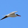 Caspian Tern - 1/17/2015 - Salt Works, Chula Vista