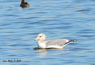 California Gull - 1/17/2015 - Salt Works, Chula Vista