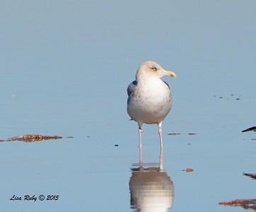 Herring Gull #3 - 1/17/2015 - Salt Works, Chula Vista