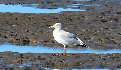 Herring Gull #1 - 1/17/2015 - Salt Works, Chula Vista