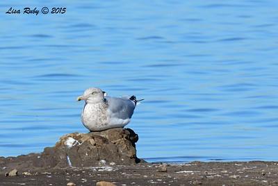 Herring Gull #4 - 1/17/2015 - Salt Works, Chula Vista