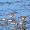 Western Sandpipers -  1/17/2015 - Salt Works, Chula Vista