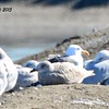 Glaucos-winged Gull (brownish one in the middle) - 1/17/2015 - Salt Works, Chula Vista