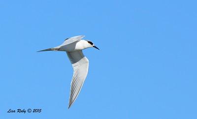 Forster's Tern -  1/17/2015 - Salt Works, Chula Vista