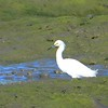 Snowy Egret -  1/17/2015 - Salt Works, Chula Vista
