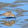 Dunlin - 1/17/2015 - Salt Works, Chula Vista