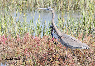 Fun shot of a Great Blue and Little Blue Heron hanging out in very close proximity to one another. Check out the size difference!