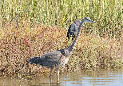 Another shot of the Great and Little Blue Herons