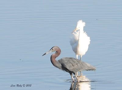 Little Blue Heron and Juvenile Snowy Egret