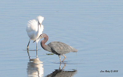 This is an adult Little Blue Heron and Juvenile Snowy Egret (thanks Jim Pea for providing the ID on the Egret)