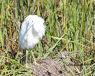 Juvenile Little Blue Heron.