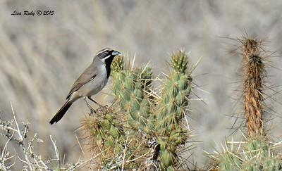 Black-throated Sparrow - 3/7/2015 - Borrego Springs Visitor Center