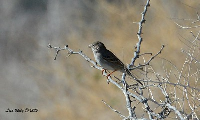 Brewer's Sparrow - 3/7/2015 - Borrego Springs Visitor Center