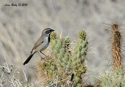 Black-throated Sparrow - 3/7/2015 - Borrego Springs Visitor Center