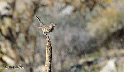 Sage Thrasher - 3/7/2015 - Culp Valley