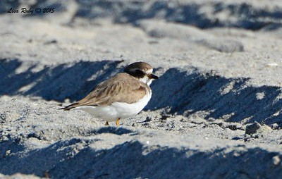 Semi-palmated Plover - 3/6/2015 - north county beach