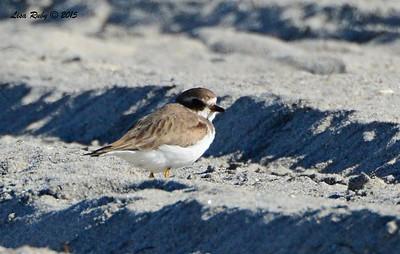Semi-palmated Plover - 3/6/2015 - north county beach