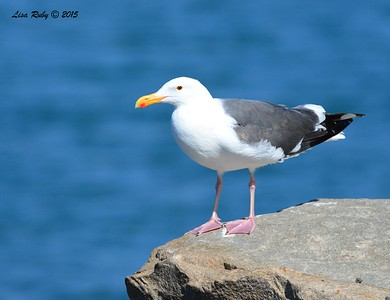 Western Gull - 3/6/2015 - Oceanside Harbor jetty