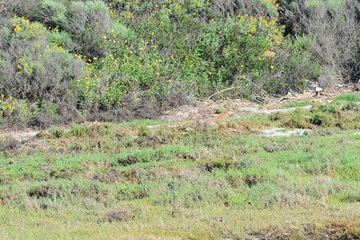 Pacific Golden Plover, thought I'd post the uncropped shot to show how hard this bird was to spot.  - 3/6/2015 - San Dieguito Lagoon