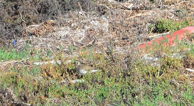 Awful photo of Pacific Golden Plover - 3/6/2015 - San Dieguito Lagoon just south of Via De La Valle off coast highway
