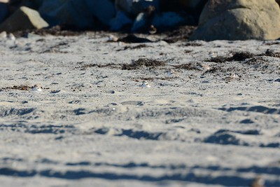 6 Snowy Plovers, can you find them (the darker blurry all the way in the back is a Semi-palmated) - 3/6/2015 - north county state beach