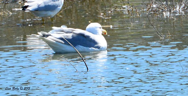Adult Glaucous-winged Gull - 3/6/2015 - Oceanside Harbor river mouth