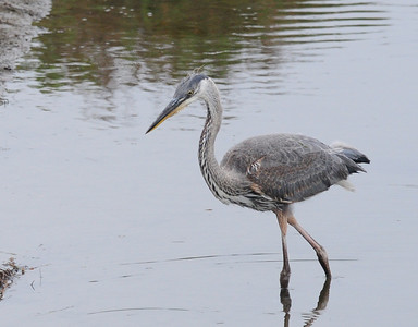Great Blue Heron.