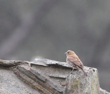 Believe this is an immature House Finch.