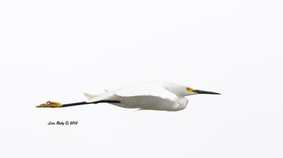 Snowy Egret in an interesting flight pose. Sure wish we'd had a blue sky when I took this.