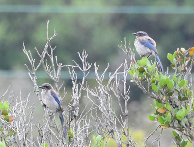 Young Scrub Jays.