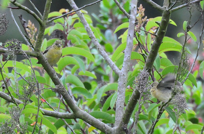Young Lesser Goldfinches. The one in the lower right is begging.
