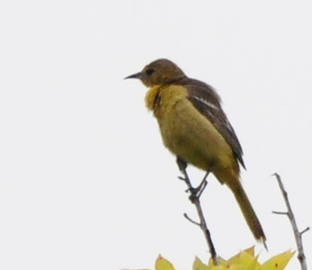 I believe this is a young Hooded Oriole. I think Peter was mentioning newly fledged when I took this.